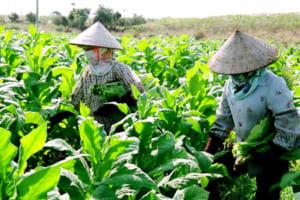 Điều kiện và thủ tục cấp Giấy chứng nhận đủ điều kiện đầu tư trồng cây thuốc lá